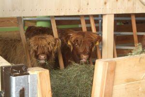 Die schottische Hochlandrinderzucht unterm Rosengarten Südtirol