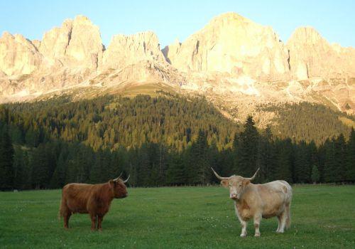 Bildergalerie Hochlandrinderzucht vom Rosengarten - Südtirol Hochlandrinderzucht Südtirol Schottische Hochlandrinder vom Rosengarten | Plank Dieter